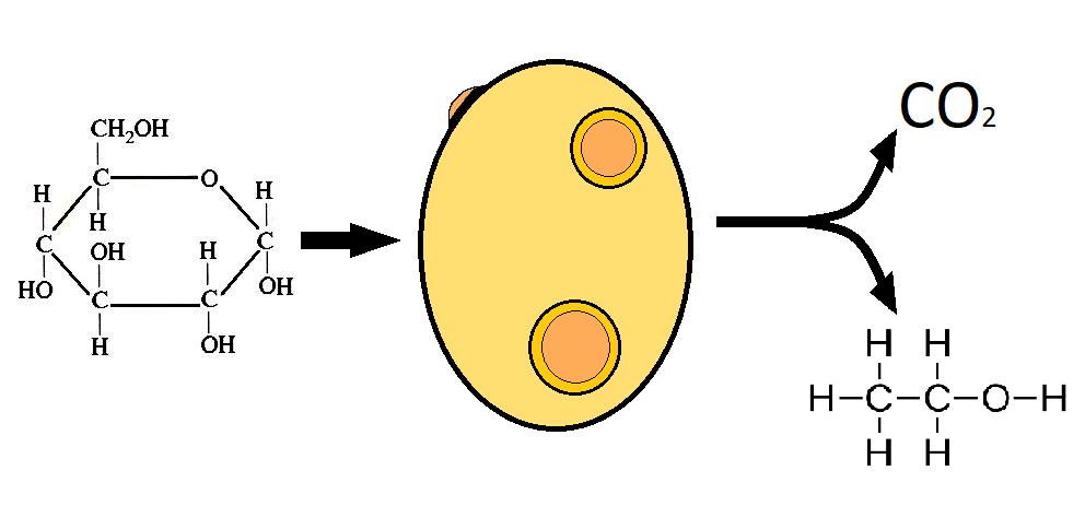 La levadura metaboliza una molécula de glucosa y la transforma en CO2 y etanol, esta es la base de la fermentación alcohólica.