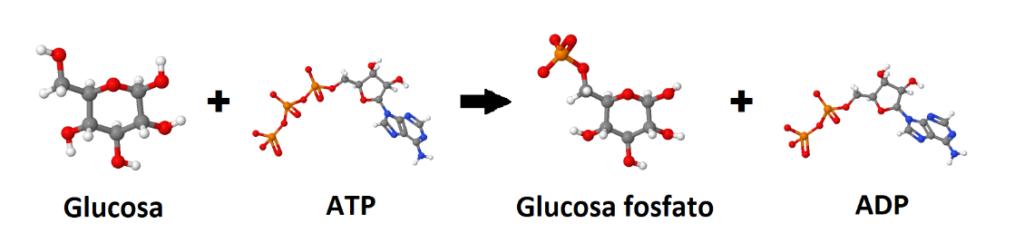 Glucosa, ATP, glucosa fosfato, ADP. Comienzo del metabolismo de la glucosa en la fermentación alcohólica