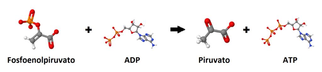 Fosfoenolpiruvato, ADP, piruvato, ATP. Final del metabolismo de la glucosa.