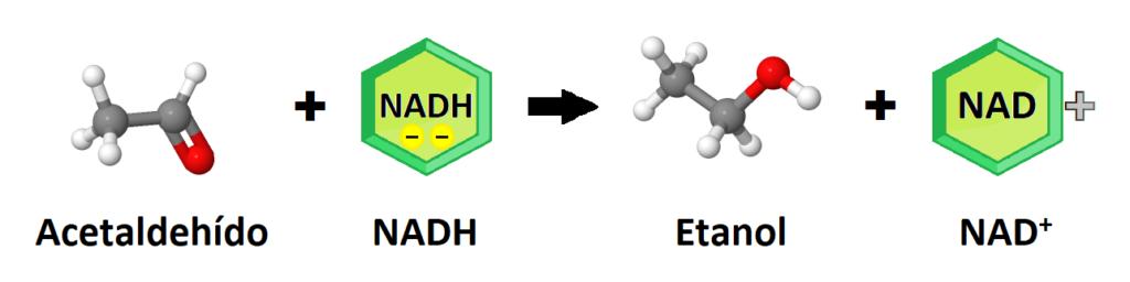 Acetaldehído, NADH, etanol, NAD+. Final del metabolismo de la glucosa en la fermentación alcohólica