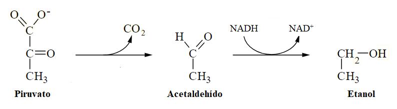 Piruvato, acetaldehído, etanol. Metabolismo del piruvato en la fermentación alcohólica
