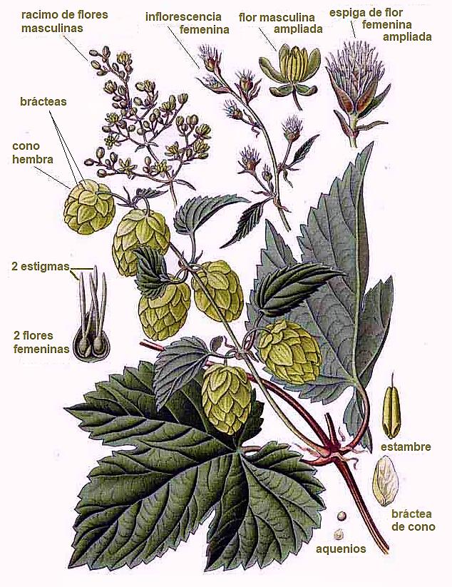 Estructura de una planta de lúpulo que se utiliza para la elaboración de cerveza.
