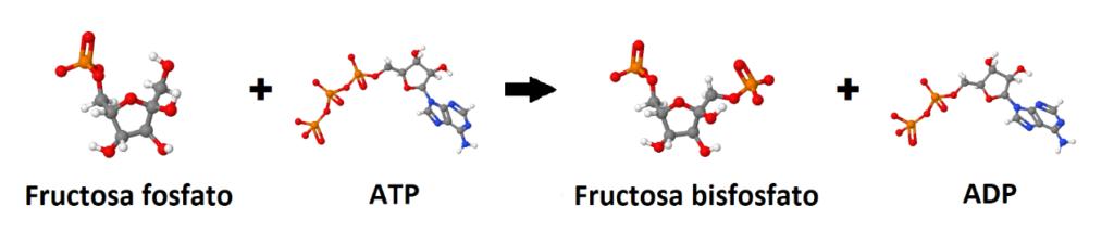 Fructosa fosfato, ATP, fructosa bisfosfato, ADP. Metabolismo de la glucosa