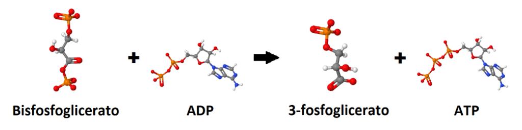 Bisfosfoglicerato, ADP, 3-fosfoglicerato, ATP