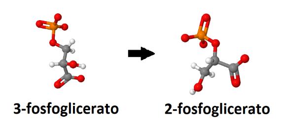 3-fosfoglicerato, 2-fosfoglicerato