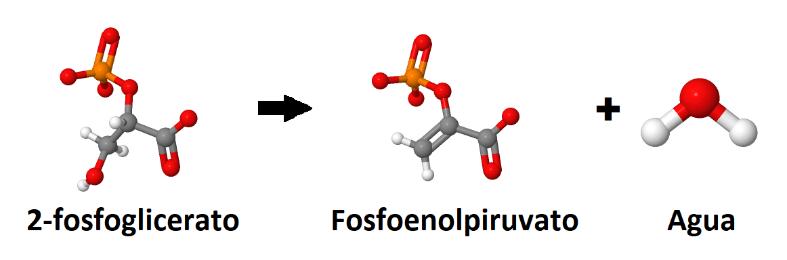 2-fosfoglicerato, fosfoenolpiruvato, agua